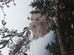 桜開花\(^o^)/